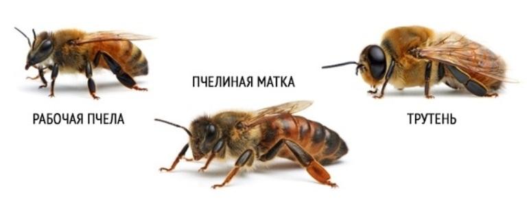 Матка, трутень рабочая пчела