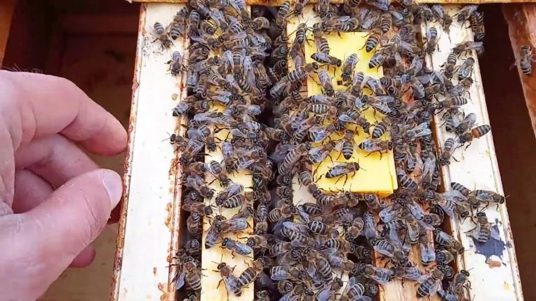 Эффективный способ сделать отводок пчел