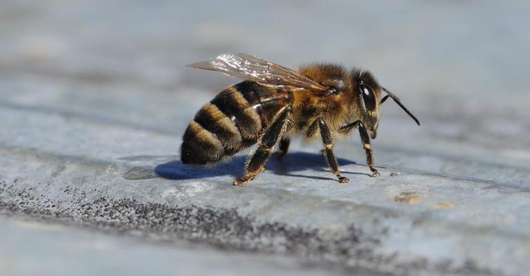 Пчела Кавказянка