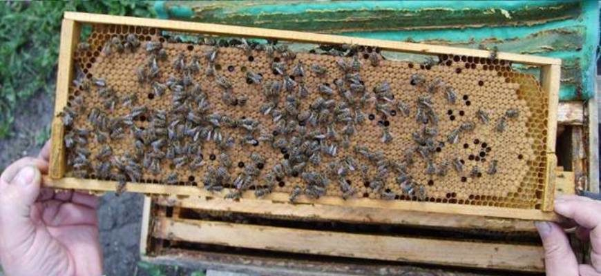 Содержание пчел в улье на рамке 145