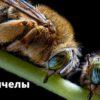 Сонные пчелы