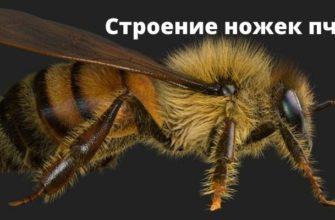 Строение ножек пчелы